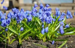 I primi fiori della molla Fiori di Snowdrops Fiori al sole fotografie stock libere da diritti