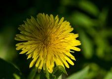 I primi fiori della sorgente fotografia stock