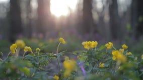 I primi fiori di fioritura in una foresta selvaggia della molla ondeggiano nel vento Erba e fiori freschi in primavera Fiori di f archivi video