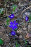 I primi fiori porpora del Hepatika fare il loro modo tramite le foglie dell'anno scorso nella foresta, in molla in anticipo immagine stock