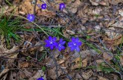 I primi fiori porpora del Hepatika fare il loro modo tramite le foglie dell'anno scorso nella foresta, in molla in anticipo immagine stock libera da diritti