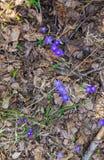 I primi fiori porpora del Hepatika fare il loro modo tramite le foglie dell'anno scorso nella foresta, in molla in anticipo fotografie stock