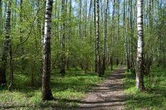 I primi verdi in il legno di primavera Immagine Stock