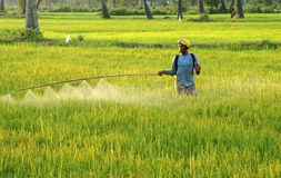 I prodotti chimici dello spruzzo dell'agricoltore su riso sistemano al tramonto Fotografia Stock Libera da Diritti