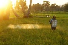 I prodotti chimici dello spruzzo dell'agricoltore su riso sistemano al tramonto Fotografia Stock