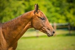 I profilstående av den Akhal tekehästen i en paddock arkivfoto
