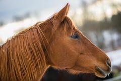 I profilstående av den kastanjebruna hästen royaltyfri fotografi