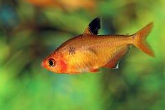 I pulchripinnis di Hyphessobrycon si chiudono su Fotografie Stock Libere da Diritti