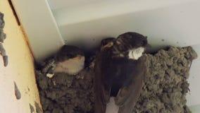 I pulcini del sorso nel nido inghiottono i pulcini d'alimentazione stock footage