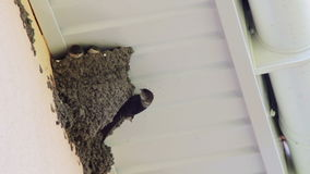 I pulcini del sorso nel nido inghiottono i pulcini d'alimentazione archivi video