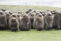 I pulcini giovanili di re Penguin huddled nella pioggia Poin volontario Immagine Stock