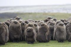 I pulcini giovanili di re Penguin huddled nella pioggia Poin volontario Fotografia Stock