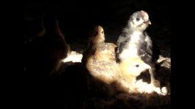 I pulcini prendono una doccia Dalla sabbia stock footage