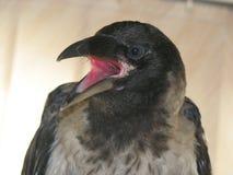I Put something in its beak!. Grey crow opened the beak Royalty Free Stock Photos