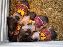 I quattro maiali nani svegli, è piccole razze del maiale domestico con il vestito rosso operato ed il nastro giallo, addormentate fotografia stock
