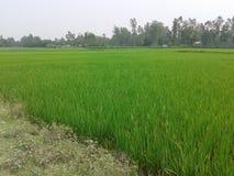 I raccolti Bangladesh Fotografia Stock Libera da Diritti