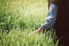 I raccolti d'esame del grano dell'agricoltore anziano nel campo Fotografia Stock