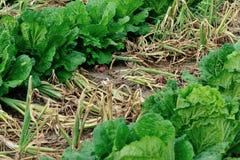 I raccolti dei cavoli cinesi e della cipolla rossa Fotografia Stock