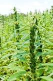 I raccolti dei semi di sesamo Immagine Stock Libera da Diritti