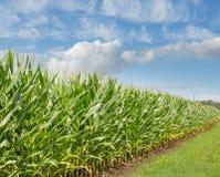 I raccolti del campo di grano Immagine Stock
