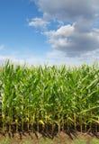 I raccolti del campo di grano Fotografie Stock Libere da Diritti
