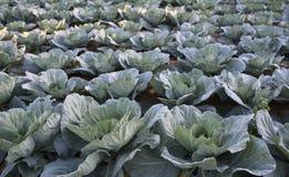 I raccolti del cavolo si sviluppano su suolo Cavoli sul campo dell'azienda agricola Piantagione di verdure di estate Alimento org Fotografia Stock