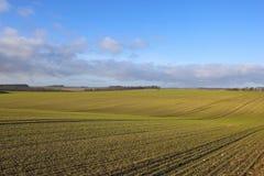 I raccolti del cereale della piantina Immagini Stock Libere da Diritti