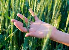 I raccolti del cereale e della mano Immagini Stock