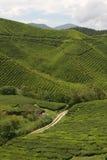 I raccolti del tè Immagini Stock