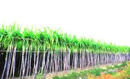 I raccolti della canna da zucchero Immagine Stock Libera da Diritti