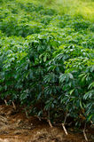 I raccolti della manioca Immagini Stock