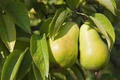 I raccolti della pera sull'albero Fotografia Stock