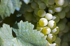 I raccolti della raccolta e del vino Fotografia Stock