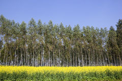 I raccolti della senape con gli alberi di eucalyptus Fotografie Stock Libere da Diritti