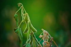 I raccolti della soia nel campo Fotografie Stock