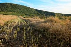 I raccolti delle Cole del raccolto Immagini Stock Libere da Diritti