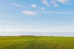 I raccolti di granulo di inverno si inverdicono il campo e si apanna il cielo blu Fotografia Stock