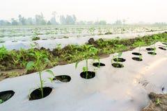 I raccolti di piantatura con la pacciamazione, piantanti i peperoncini rossi, alberi dei peperoncini rossi dentro Fotografia Stock Libera da Diritti