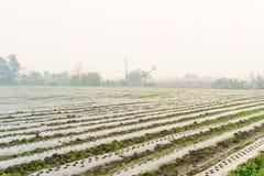 I raccolti di piantatura con la pacciamazione, piantanti i peperoncini rossi, alberi dei peperoncini rossi dentro Immagini Stock