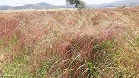 I raccolti di tef piantati nelle file Hatsebo, Axum Immagini Stock