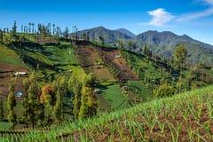 I raccolti di verdure sui campi collinosi Java, Indonesia fotografie stock libere da diritti