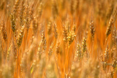I raccolti gialli Immagine Stock Libera da Diritti