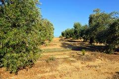 I raccolti irrigati, oliveti, Andalusia, Spagna Fotografia Stock Libera da Diritti