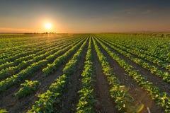 I raccolti sani della soia al tramonto idilliaco Fotografia Stock