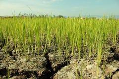 I raccolti sono su terra asciutta Fotografia Stock
