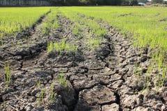 I raccolti sono su terra asciutta Immagini Stock