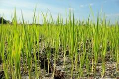 I raccolti sono su terra asciutta Immagine Stock