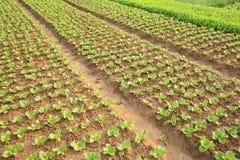 I raccolti verdi della lattuga nella crescita Immagini Stock