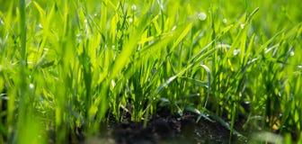 I raccolti verdi ricchi di inverno sui campi Fotografia Stock