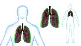 I raggi x dei polmoni del corpo umano effettuano la rotazione del ciclo 3d rendono royalty illustrazione gratis